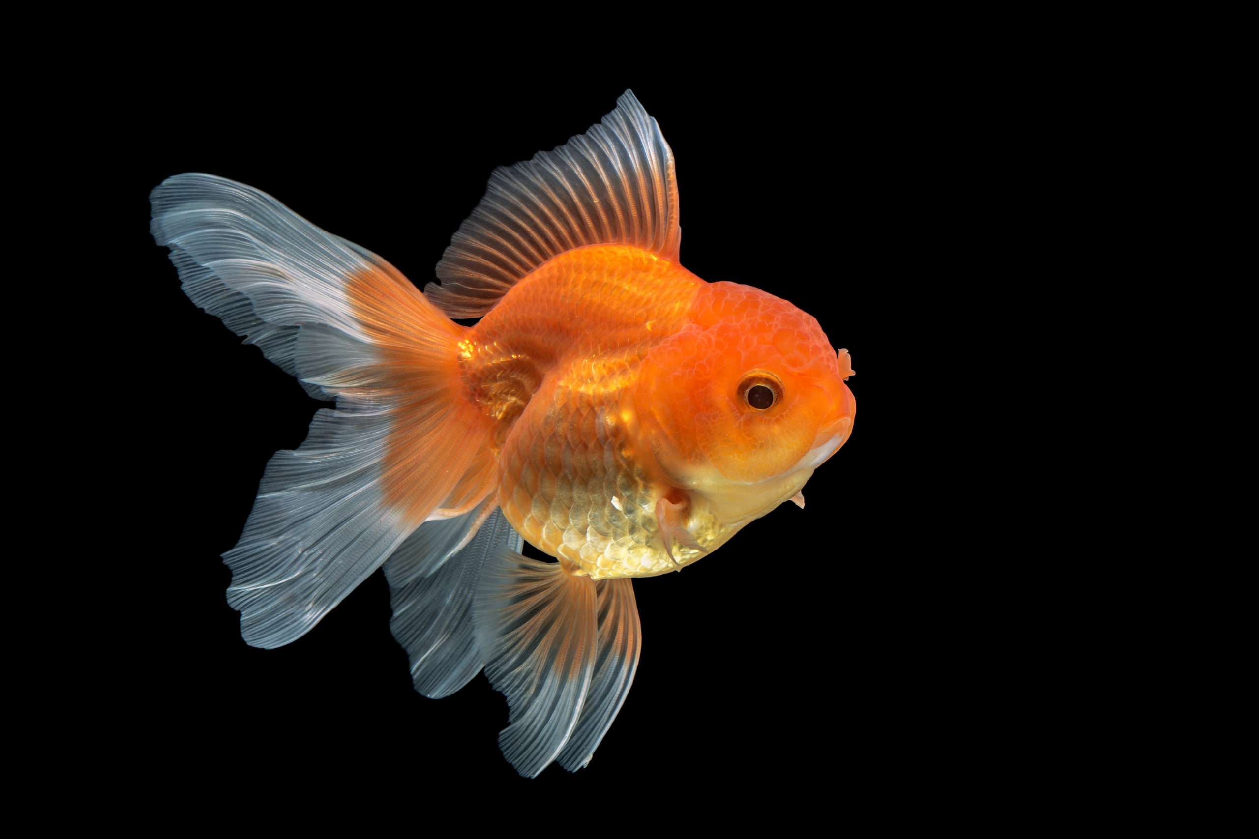 a fat goldfish, a visual description of my bloated ego