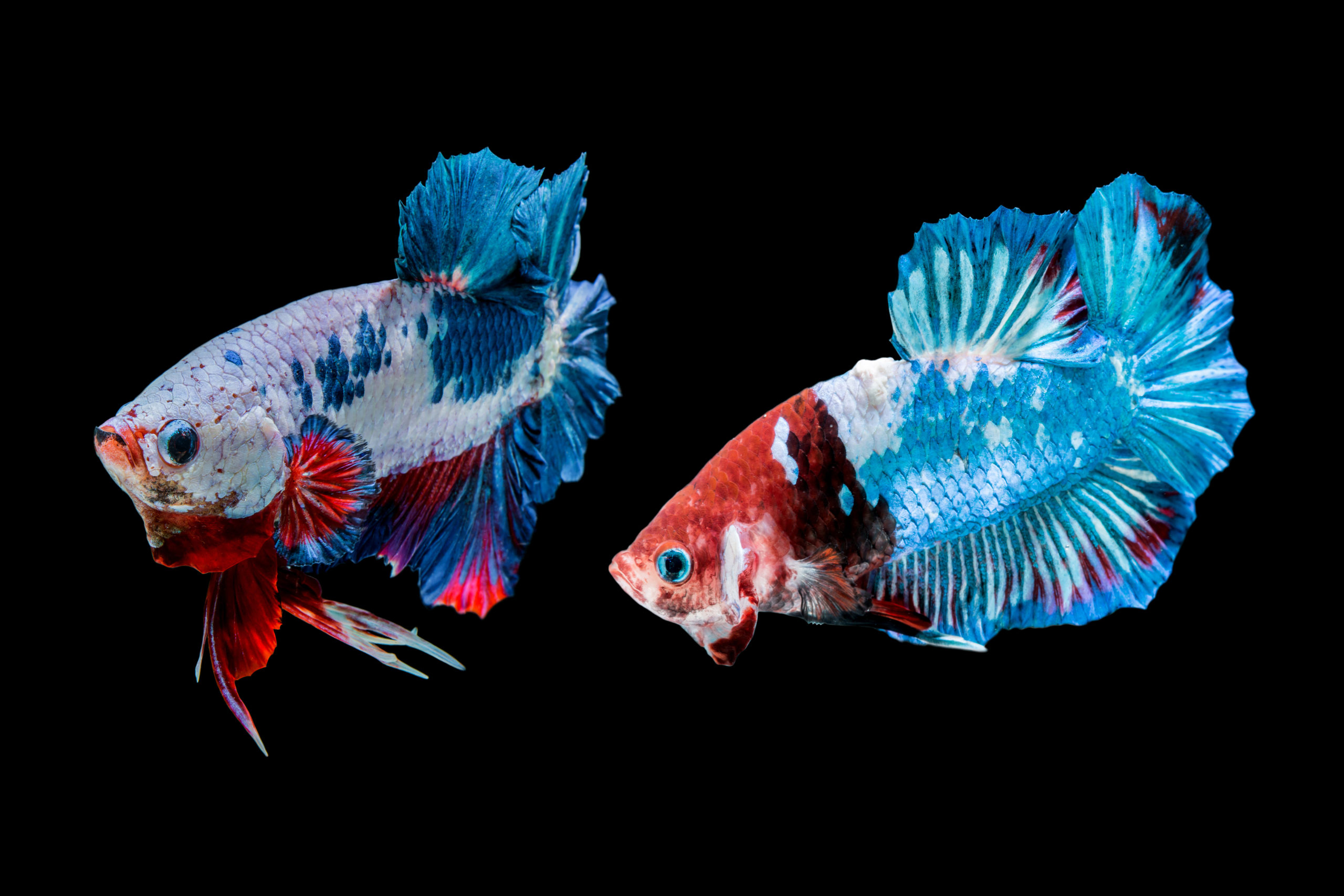Two betta fish with similar colors, one looking back at the other.