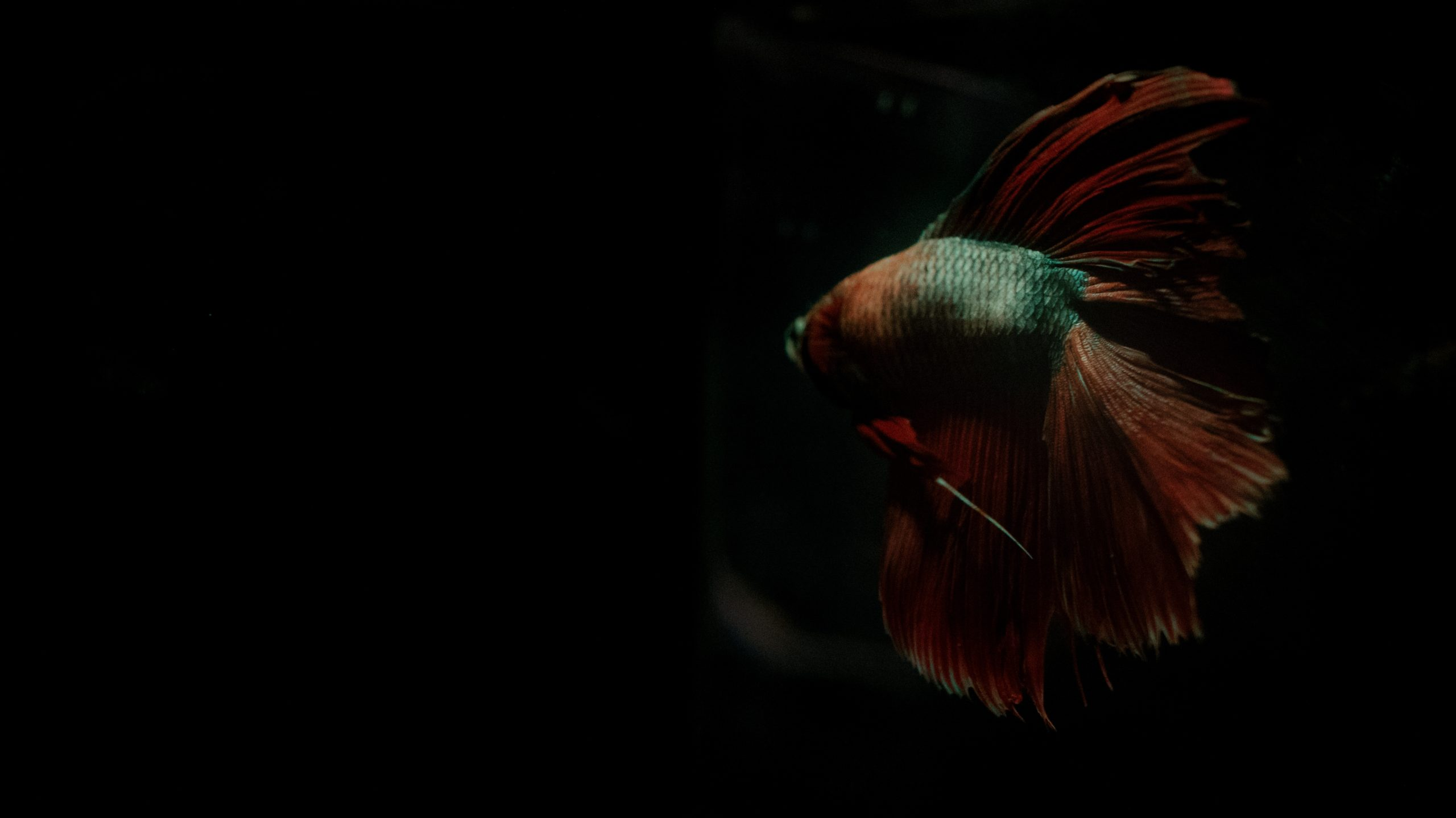 a lonely betta fish sailing off into the dark, set to Sober by Tool